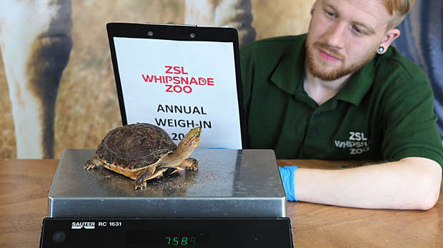 A McCords Box turtle is weighed at ZSL Whipsnade Zoo's annual weigh in