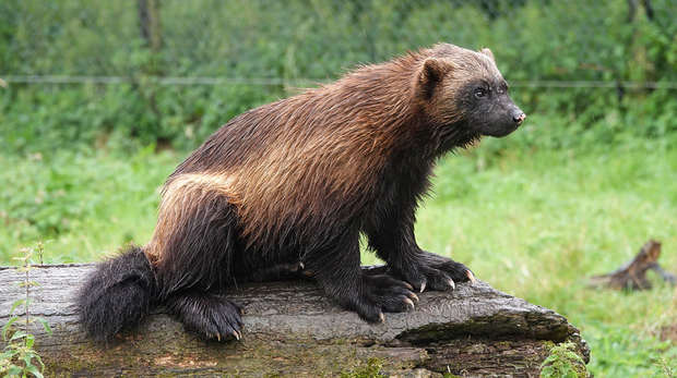 Puff the wolverine enjoys the rain at ZSL Whipsnade Zoo