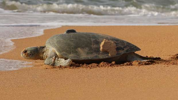 A GPS tagged turtle on the beach