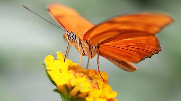 Flamebeau butterfly at ZSL Whipsnade Zoo