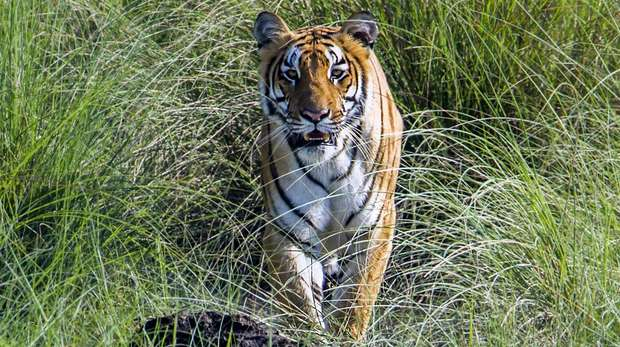 Tiger in long green grass