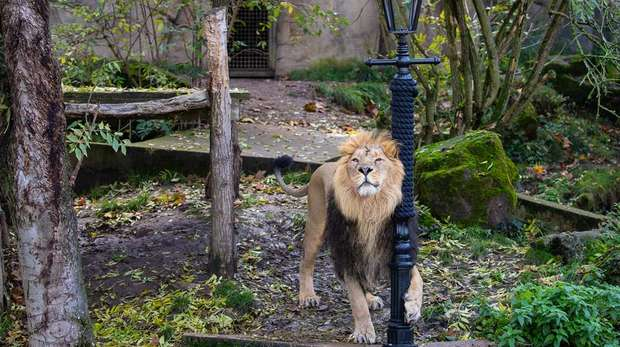 Asiatic lion Bhanu explores a giant scratching post at ZSL London Zoo