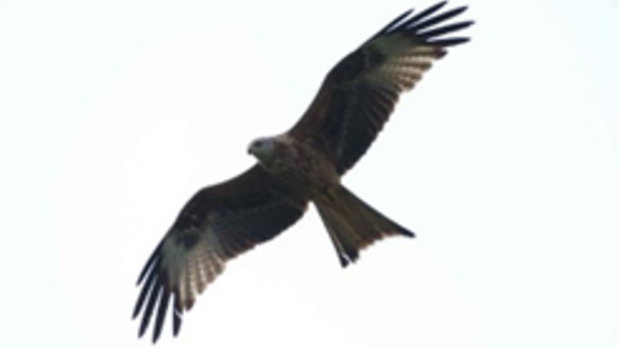 Red kite.png