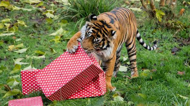 Asim the Sumatran tiger pounced on brightly wrapped presents at ZSL London Zoo
