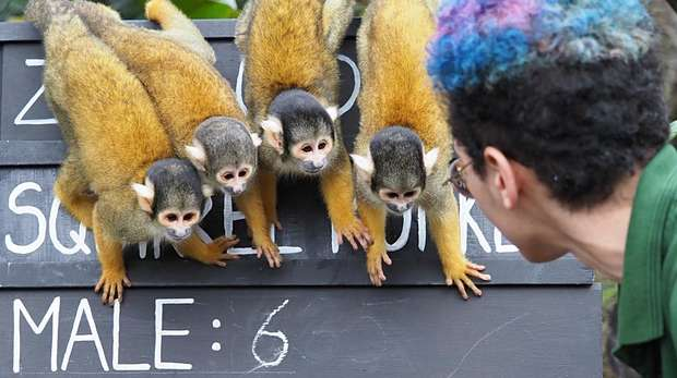 The squirrel monkeys take part in the annual stocktake at ZSL London Zoo