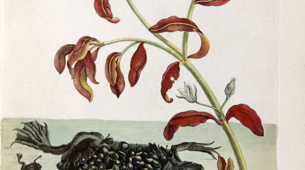 Coloured engraving of a Surinam toad with young on back