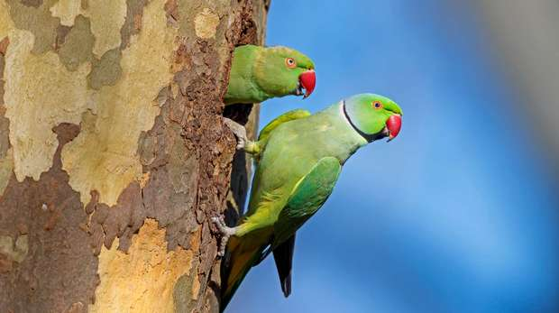 Pair of parakeets peeking out of a tree