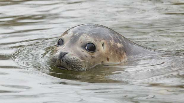 A seal swimming in the Thames, with its head poking out of the water