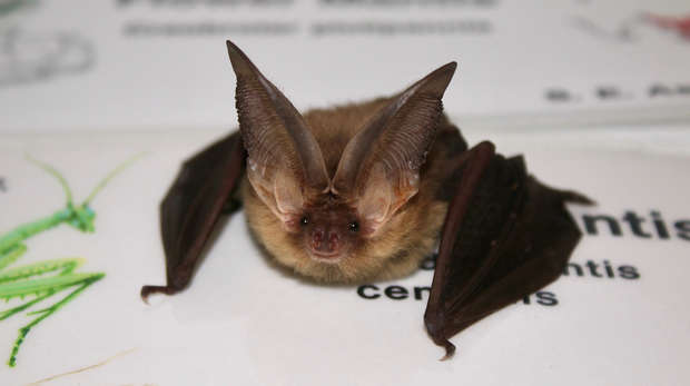 A native brown-long-eared bat that was rescued by keepers at ZSL Whipsnade Zoo