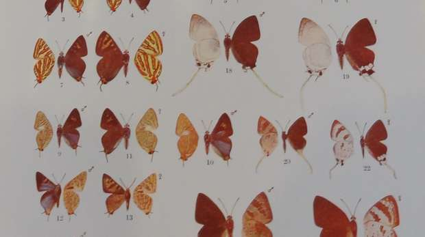 A page of Lycaenid or blue butterfly illustrations