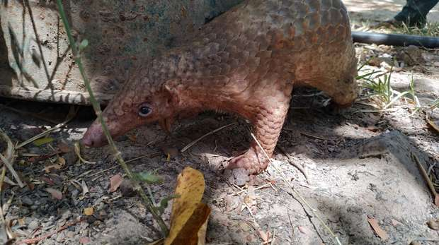 A scaly Philippine Pangolin