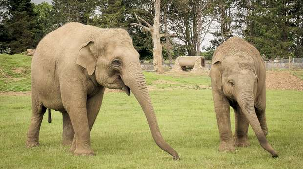 Our elephants play an important part in the European Endangered Species Breeding Programme
