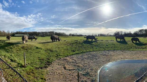 ZSL Whipsnade Zoo's white rhinos in their paddock