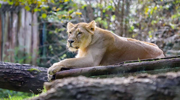 A lioness called Arya lying down on a log