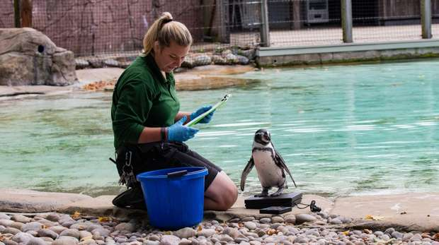 Keeper Jessica with a Humboldt penguin at ZSL London Zoo