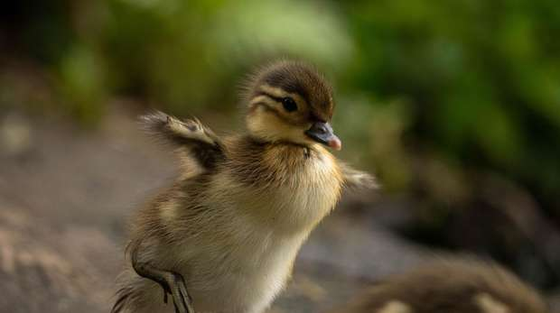A Mandarin duckling runs along the ground, its small wings out-stretched.