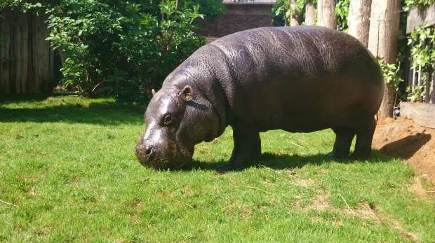 Nicky the Pygmy Hippo at ZSL London Zoo