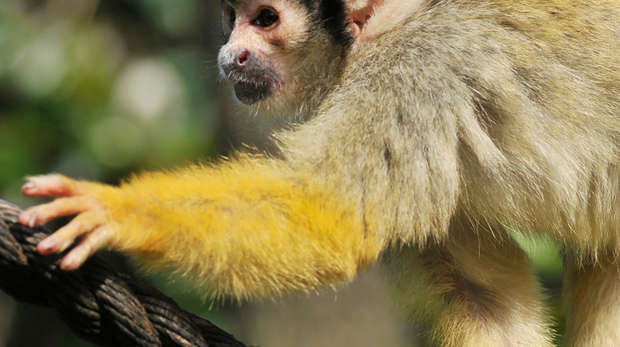 Squirrel Monkey app