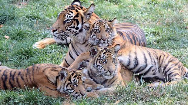 Three Sumatran tiger cubs with mum at ZSL London Zoo