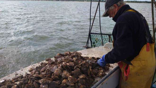 Blackwater Oysterman Association preparing native oysters before re-laying in the restoration zone