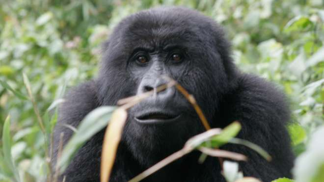 A Gorilla in it's native habitat in the DRC.