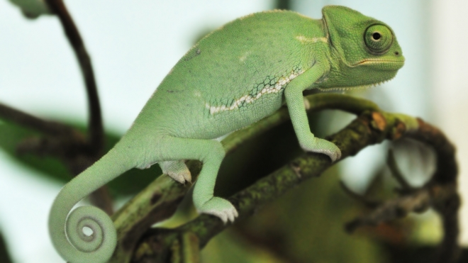 Baby chameleon at the discovery centre
