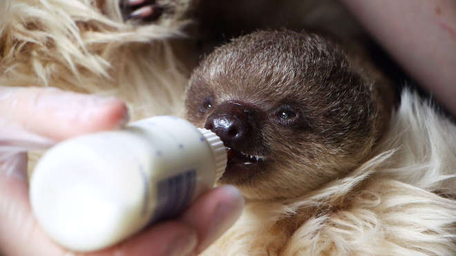 Edward the baby sloth feeding