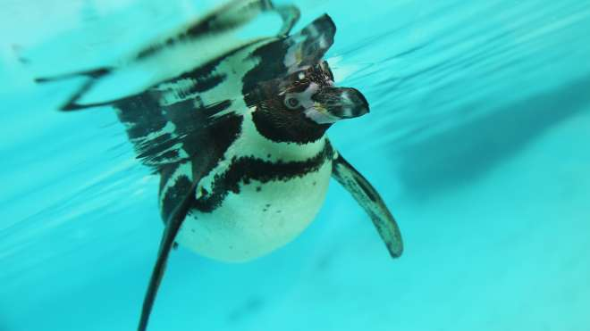 Penguin underwater at penguin beach