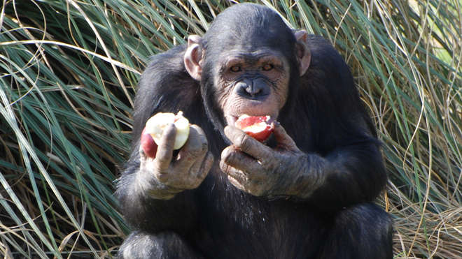 Chimpanzee at ZSL Whipsnade Zoo
