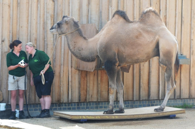 Camel getting weighed