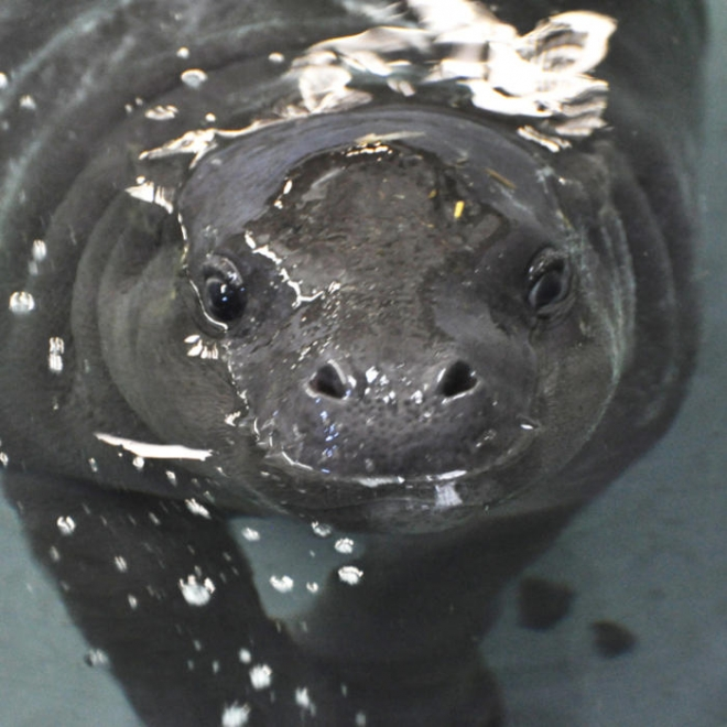 Georgina the pygmy hippo