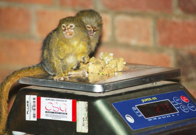 Pygmy Marmosets Weigh in