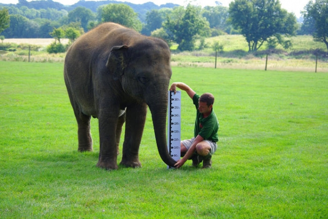 Elephant weigh-in