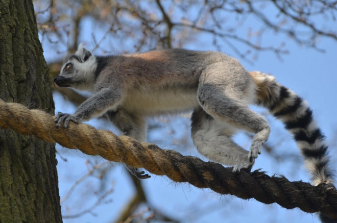 Ring Tailed Lemur The Island S Most Recognisable