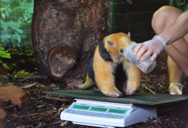 Tree anteater getting weighed
