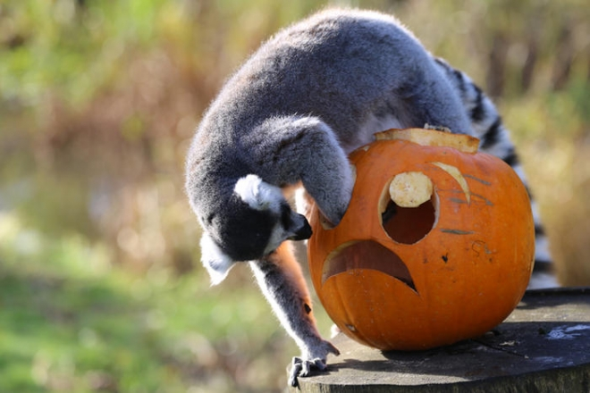 Lemur with a pumpkin halloween