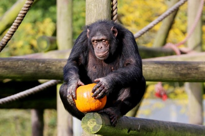 Chimp with pumpkin, halloween