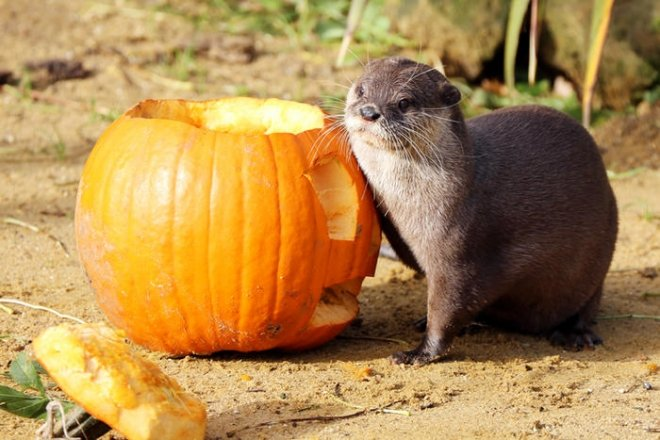 Otter with pumpkin, halloween