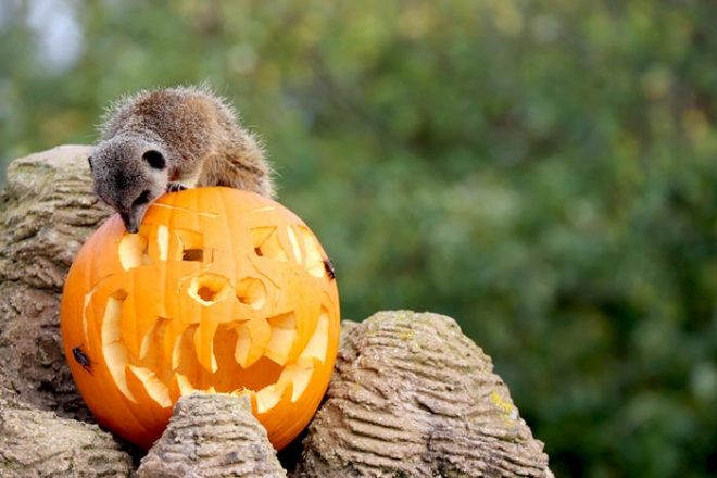Meerkat with pumpkin, halloween