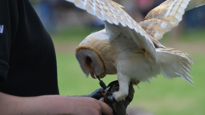 Barn owl demonstrating hunting at ZSL London Zoo