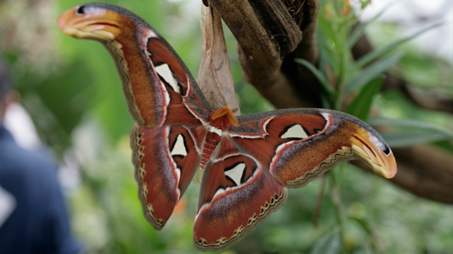 Full body shot of the Atlas Moth in Butterfly Paradise