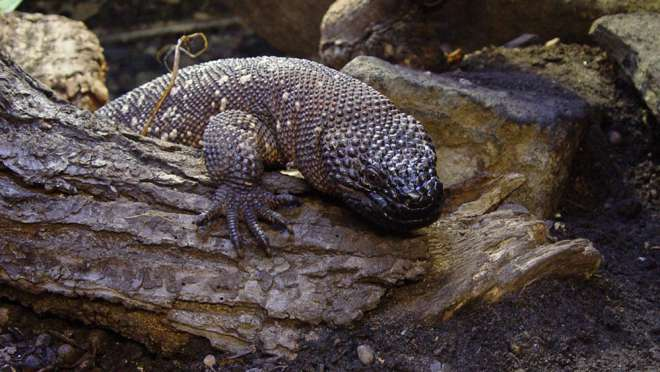 Beaded Lizard at ZSL London Zoo.