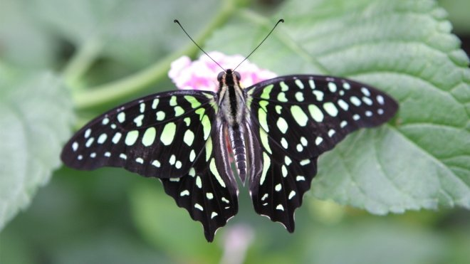 Close up of butterfly with green and black markings in Butterfly Paradise.