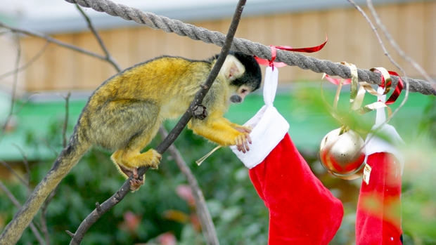 Squirrel Monkey with a Christmas treat at ZSL London Zoo.