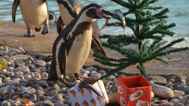 Humboldt penguin enjoying Christmas 2012 at ZSL London Zoo