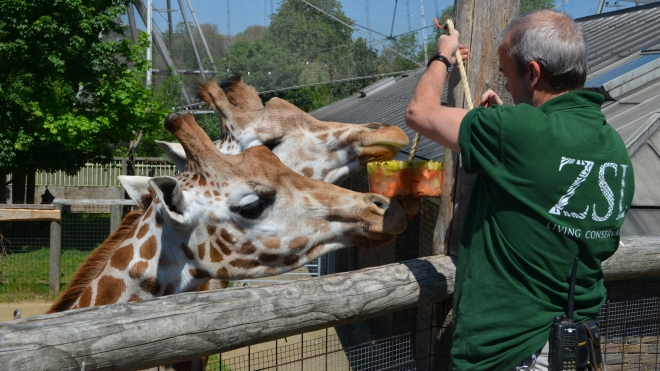 Two giraffes eating at ZSL London Zoo