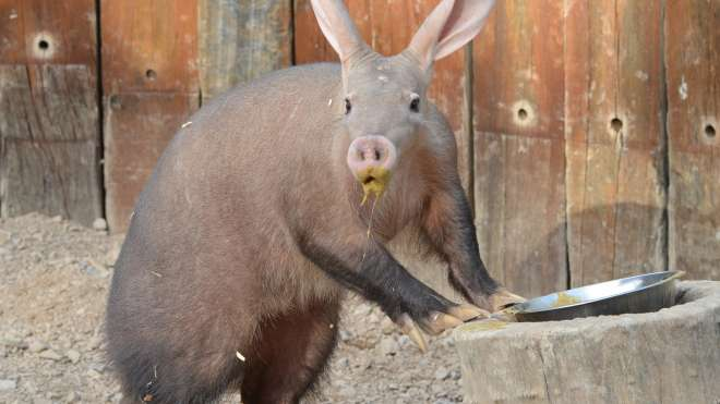 An aardvark eating at ZSL London Zoo