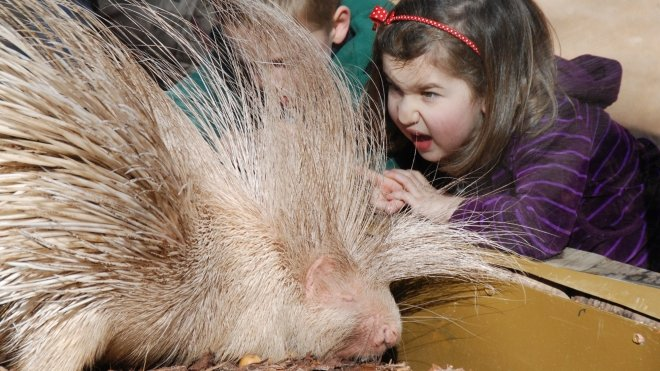 Blondie the porcupine with child at ZSL London Zoo