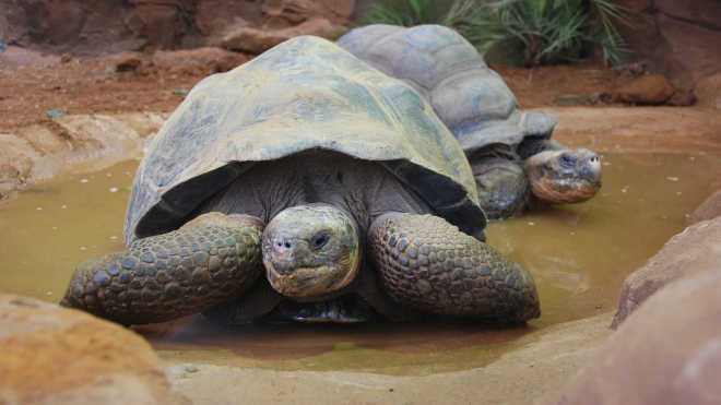 A pair of Galapagos Tortoises at ZSL London Zoo