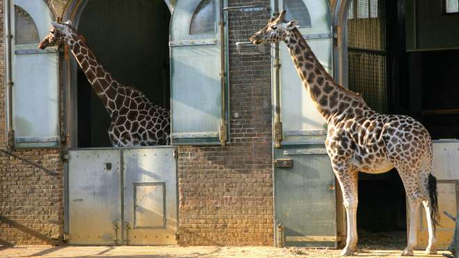 A pair of giraffe at ZSL London Zoo
